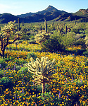 USA, Arizona,  Organ Pipe Cactus National Monument.  Wildflowers and Cacti.
