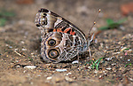 American Painted Lady Butterfly, Vanessa virginiensis, resting on ground, eye spots and patterned wings