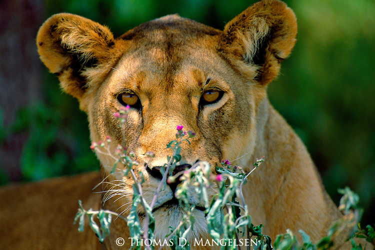 Seeking refuge from the blazing East African sun, a lioness retreats to the shade of a quiet oasis on the plains.