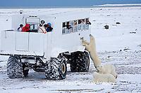 01874-11101 Polar bears (Ursus maritimus) near Tundra Buggy, Churchill, MB