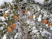 Close of of Western Hemlock branches and cones after snowfall. Mt. Rainier National Park, Washington
