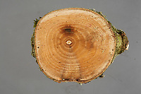 "Pictured: Symptoms of Chalara ash dieback. A fungal disease affecting the ash trees of Europe. Picture shows a wedge-shaped lesion caused by the pathogen working its way into the tree.<br /> Re: Millions of diseased trees near buildings, roads and railways will have to be cut down because of a deadly fungus which is spreading through the ash trees  in the UK, a lot quicker than anticipated.<br /> Natural Resources Wales (NRW) warned of a ""very significant impact"" on the landscape and the Welsh government is setting up an expert group to advise on the issue.<br /> Wales has been particularly affected by the spread of ash dieback, which was first identified in the UK in 2012<br /> Its proper name is Chalara dieback, named after a fungus called Chalara fraxinea<br /> Symptoms include lesions at the base of dead side shoots, wilting and lost leaves and a killing off of new growth on mature trees<br /> The disease is spread by released spores and has swept across Europe over the past 20 years, affecting about 70% of ash in woodland<br /> Ash is an important species for nesting birds, insects and fungus<br /> It does not pose a risk to human or animal health"