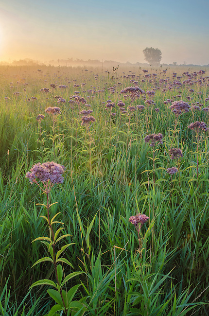 The sunrises over the prairie where Joe Pye Weed grows in profusion at Springbrook Prairie Forest Preserve in DuPgae County, Illinois
