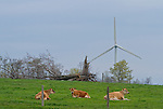 Guard Cows protecting a turbine at Garret Wind Farm.