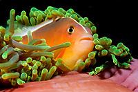 orange skunk clownfish, or orange anemonefish, Amphiprion sandaracinos, Koh Ha, Thailand, Andaman Sea, Indian Ocean