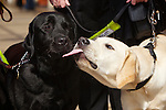 Pix: Shaun Flannery/shaunflanneryphotography.com...COPYRIGHT PICTURE>>SHAUN FLANNERY>01302-570814>>07778315553>>..9th April 2011.............Guide Dog Labrador puppy, Parky 'kisses' Labrador Toby,