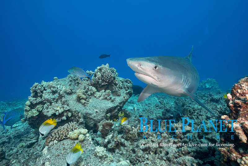 tiger shark, Galeocerdo cuvier, bluefin trevally or omilu, Caranx melampygus, and threadfin butterflyfish, Chaetodon auriga, Honokohau, Kona Coast, Big Island, Hawaii, USA, Pacific Ocean