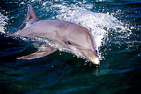 Atlantic Bottlenose Dolphin, Tursiops truncatus