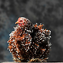 23/11/12 - MONTLUCON - ALLIER - FRANCE - Concours National Avicole de Montlucon. Poule Pekin porcelaine millefleurs. Eleveur Celine Ratron - Photo Jerome CHABANNE