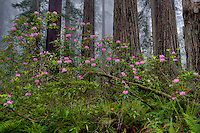 Rhododendron (Rhododendron sp). in Coast Redwood forest, Redwood National Park, California in fog.