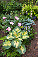 Paeonia peony Bowl of Beauty with Hosta Great Expectations, Hosta Hadspen Blue, Kolkwitzia, garden use in June garden