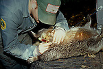 Government biologist takes blood sample from live trapped.wild raccoon as part of rabies control program