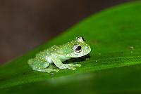 Fleischmann's glass frog (Hyalinobatrachium fleischmanni)Yellow-flecked Glassfrog (Sachatamia albomaculata)