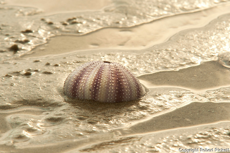 Sea Urchin shell on beach, Ifaty, Madagascar