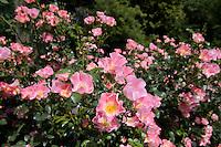 Rosa X Meipotal, Carefree Delight Shrub Rose, NJ
