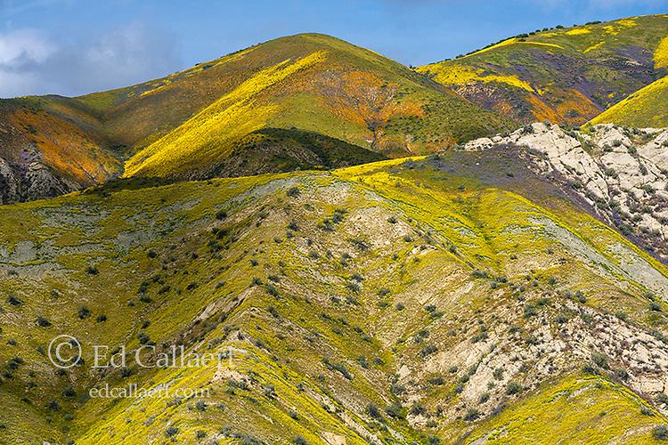 Monolopia, Fiddlenecks, Phacelia, Tremblor Range, Carrizo Plain National Monument, San Luis Obispo County, California
