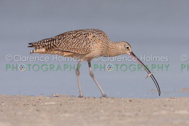 Long-billed Curlew (Numenius americanus) with a Hermit Crab at Fort Desoto Park, near St. Petersburg, Florida.