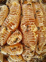 Bees on the honey combs of a natural wax construction. The making of the honey by the bee begins in its crop during its flight back to the hive, thanks to an enzyme that transforms the sucrose into glucose and fructose. Arriving in the hive, the foraging bee regurgitates the nectar into a recipient bee. Then the long task of dehydrating the soon to be honey begins. To do so, it is placed as a fine film on the inner walls of the cells and is fanned by the worker bees to cause the evaporation of the excess water. When the honey has reached the required degree of moisture, it is transferred to other cells that will be sealed.<br /> Abeilles sur les rayons de miel d'une construction naturelle de cire. L'élabore du miel par l'abeille commence dans son jabot lors de son vol de retour à la ruche, grâce à une enzyme qui transforme le saccharose en glucose et en fructose. Arrivée à la ruche, la butineuse régurgite le nectar que recueille une receveuse. Commence alors un long travail de manipulation, destiné à déshydrater cette ébauche de miel. Pour cela, il est déposé par fines pellicules sur la paroi interne des cellules, et il est ventilé par les ouvrières pour provoquer l'évaporation de l'excédent d'eau. Lorsque le miel a atteint le degré d'humidité requise, il est transféré dans d'autres alvéoles qui seront operculées.