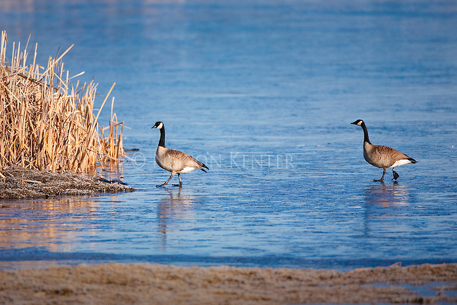 Canada Geese pair walking on ice into cattails on a frozen pond at the Lee Metcalf National Wildlife Refuge in Montana