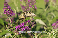 03023-02908 Eastern Tiger Swallowtail Butterfly (Papilio glaucus) in flight in garden near Butterfly Bush (Buddleia davidii), Marion Co., IL