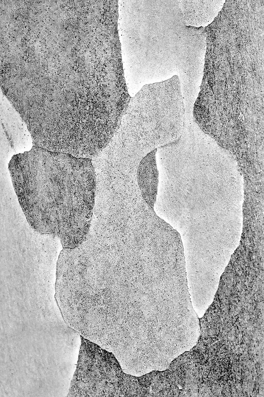 Japanese Stewartia tree (Stewartia pseudocamellia). Bishops Close Gardens. Oregon