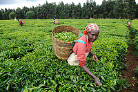 KENYA Limuru, Tigoni,  tea harvest, women pluck green tea leaves in tea garden / KENIA, Tee Ernte, Frauen pfluecken die Teeblaetter