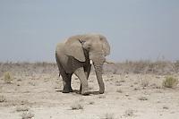 Ethosa Elephant in Namibia