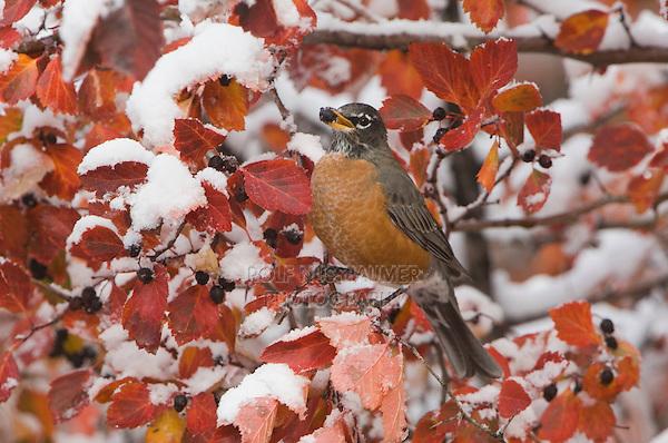 American Robin, Turdus migratorius, female eating berries of Black Hawthorn (Crataegus douglasii) fallcolors snow, Grand Teton NP,Wyoming, September 2005