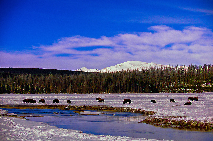 Bison (buffalo), Yellowstone National Park, Wyoming USA