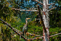 Great Blue Heron, Nakwasina Sound,  Inside Passage, Southeast Alaska USA.