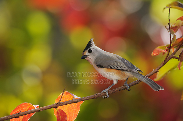 Black-crested Titmouse (Baeolophus atricristatus), adult perched on fall color branch of Crape myrtle (Lagerstroemia indica), New Braunfels, Hill Country, Central Texas, USA