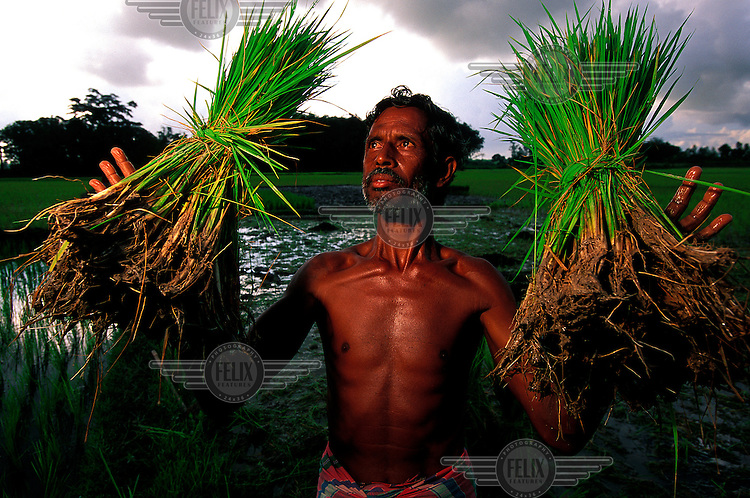 Rice farmer displays the young rice seedlings he's about to transplant into his paddy field.  Summer monsoon storm clouds gather in the distance.