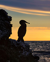 flightless cormorant, or Galapagos cormorant, Phalacrocorax harrisi at dusk, Isabela Island, Galapagos Islands, Ecuador, Pacific Ocean
