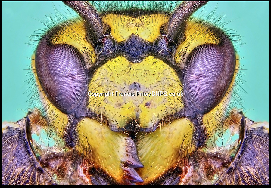 BNPS.co.uk (01202) 558833<br /> Picture: Francis Prior<br /> <br /> Wasp<br /> <br /> Young photographer Francis Prior has found photographic success using the most unlikely of models - dead bugs he found in his parents' house. The 19-year-old amateur photographer uses a macro lens to capture the smallest of details invisible to the human eye. After rounding up dead spiders, flies and beetles from every corner of his parents' home in Halewood, Liverpool, Francis sets them up in his insect studio. The incredible images can feature up to 100 shots layered on top of one another - and each one takes up to six hours to produce.