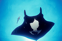 black jack, Caranx lugubris, approaches giant oceanic manta ray, Mobula birostris, formerly Manta birostris, at cleaning station to pick off parasites, San Benedicto, Revillagigedos ( Socorro ) Islands, Mexico, Pacific Ocean