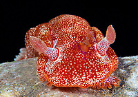 Emperor Shrimp, Periclimenes imperator, riding on Spanish Dancer, Hexabranchus sanguineus, Tawali, Papua New Guinea, Pacific Ocean