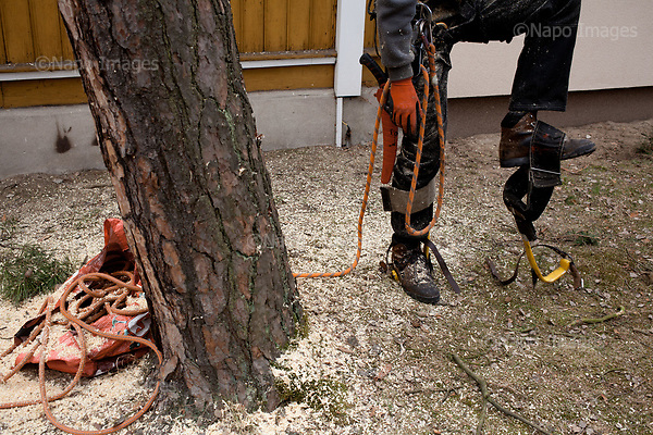 OTWOCK, POLAND, 15/03/2017:<br /> Grzegorz is taking off his gear after felling a tree in a small town of Otwock near Warsaw, March 15, 2017. The new controversial law has allowed to cut the trees that were previously banned and there's been a sure in cutting trees all over the country. <br /> (Photo by Piotr Malecki / Napo Images)<br /> ****<br /> OTWOCK,  15/03/2017:<br /> Wycinka dwoch drzew na prywatnej dzialce w Otwocku po wprowadzeniu przez ministra srodowiska Jana Szyszke prawa o swobodym wycinaniu drzew.Fot: Piotr Malecki / Napo Images