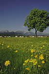 Chestnut tree in dandylion and daisy covered spring meadow, against the Alps. Schwangau, Füssen district, Bavaria, Germany.