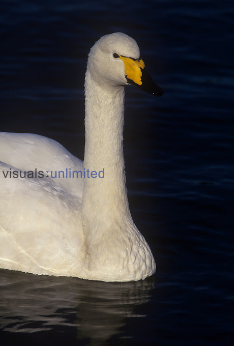 Whooper Swan head ,Cygnus cygnus,, Scotland.