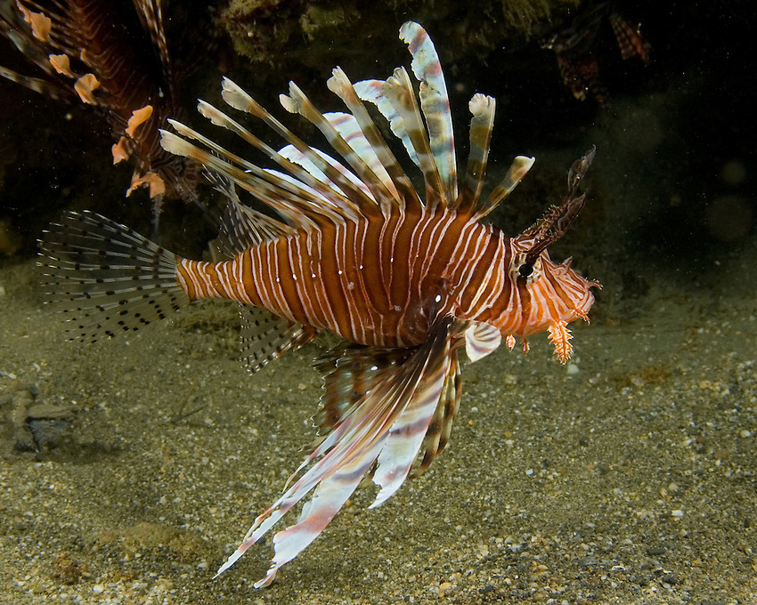 Red Lionfish (Pterois volitans) is a venomous coral reef fish in the family Scorpaenidae. They inhabit lagoon and seaward reefs from turbid inshore areas to depths of 50 meters.
