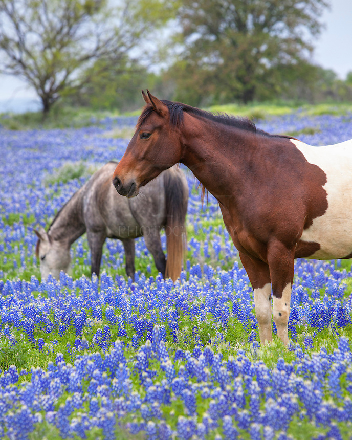 April brings bluebonnets in the Texas Hill Country. These horses were enjoyed a spring stroll one fine morning and I was fortunate to photograph these regal creatures before they headed over the hill and out of sight.<br />