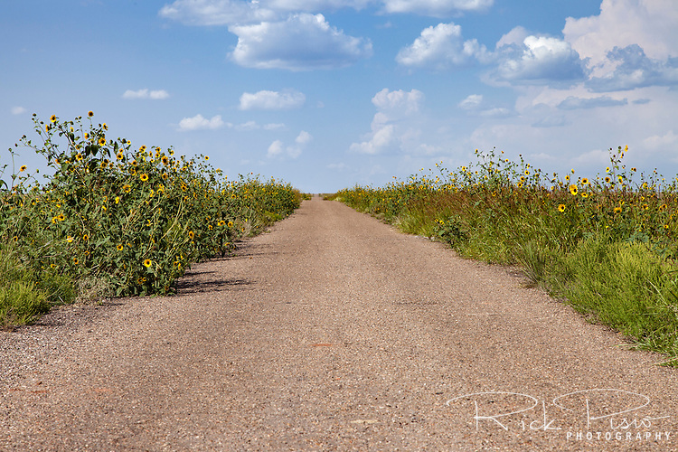 A wild sunflower lined section of Route 66 known as the Cuervo Cutoff between Santa Rosa and Cuervo, New Mexico.