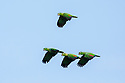 Mealy Parrots (Amazona farinosa) in flight. Blanquillo Clay Lick, Manu Biosphere Reserve, Peru. November.