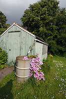 Old garden shed with clematis nellie mosa growing out of water barrel.England
