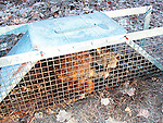 Raccoon in live trap Procyon lotor