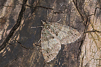 Erlenhain-Blattspanner, Hydriomena impluviata, May highflyer, Spanner, Geometridae, looper, loopers, geometer moths, geometer moth