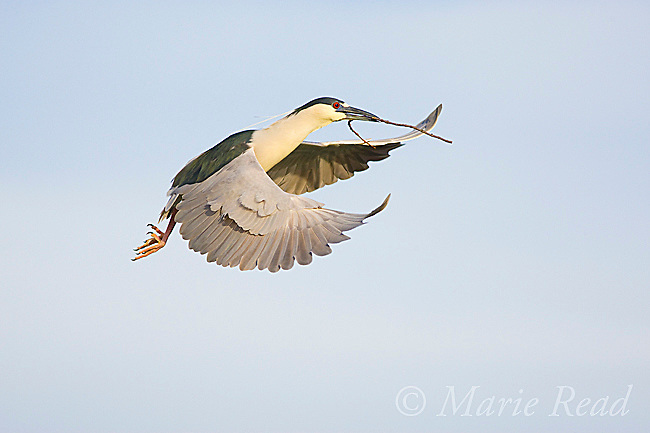 Black-crowned Night-Heron (Nycticorax nycticorax), in flight carrying stick as nest material, California, USA