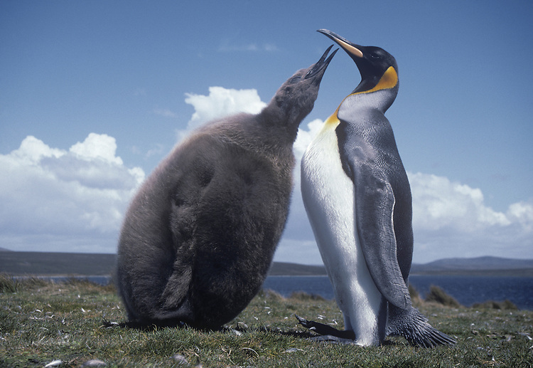 King Penguin Feeding Chick - Apterodytes patagonica