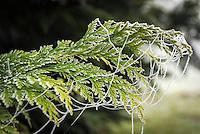 Germany, Bavaria: first night frost decorates cobweb with white frost | Deutschland, Bayern: die ersten Nachtfroeste zeugen vom bevorstehenden Winter - Spinnennetz am Lebensbaum mit Raureif