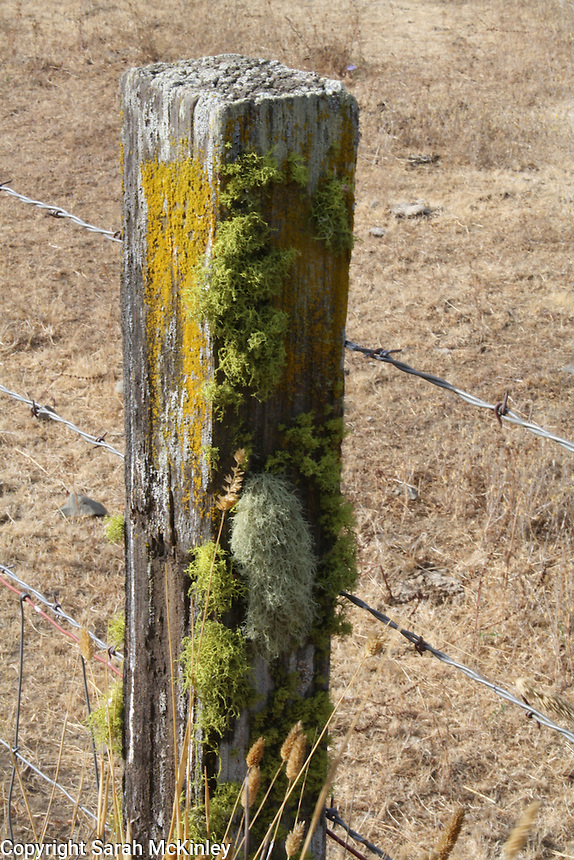 Several types of lichen - yellow, green, and gray - cover a wood fencepost along Reynold's Highway outside of Willits in Mendocino County in Northern California.